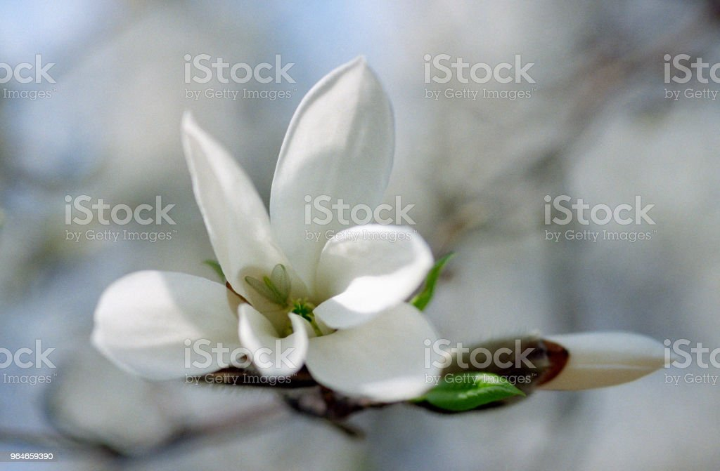 Close-up photo of white magnolia bud and flower. Shot on film royalty-free stock photo