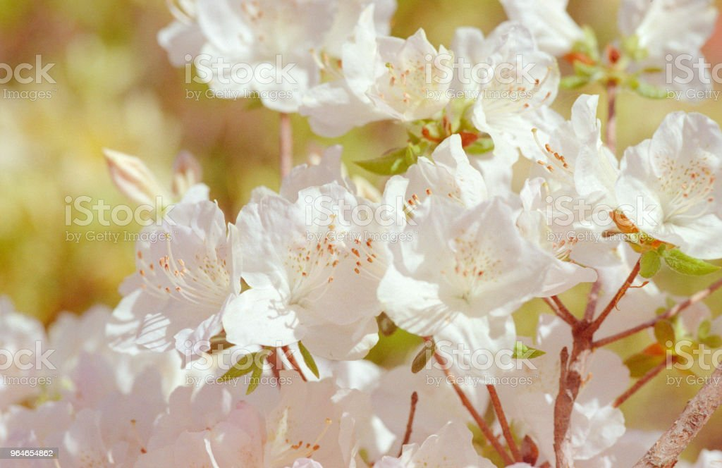 Close-up photo of white rhododendron bunch of flowers. Shot on film royalty-free stock photo