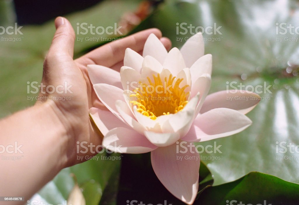 close-up photo of women hand holding water lily flower.  Shot on film royalty-free stock photo