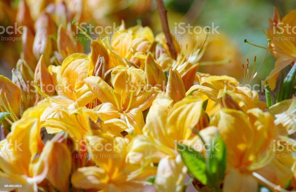 Close-up photo of yellow rhododendron bunch of flowers. Shot on film royalty-free stock photo