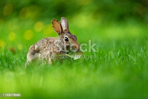 Front view photo of a young eastern cottontail rabbit (Sylvilagus floridanus) looking into the camera and making funny face while eating in the open grassy field in British Columbia, Canada