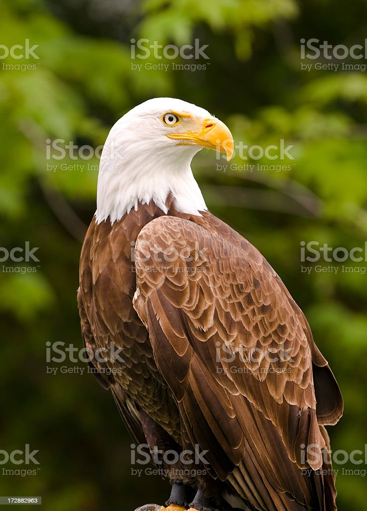 Close-up photograph of a bald eagle with trees behind him stock photo