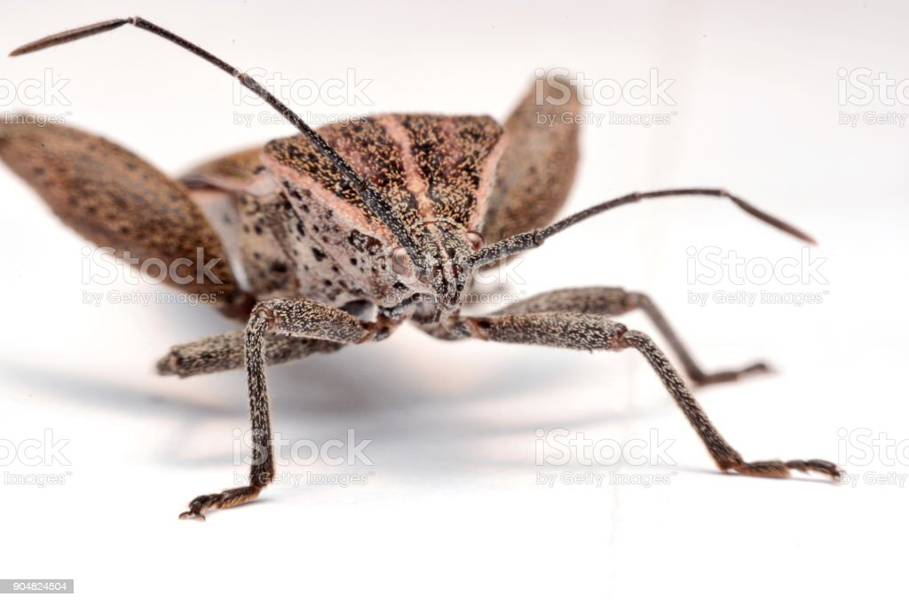 Close-up photos Brown Dock Bug isolated on a white background stock photo