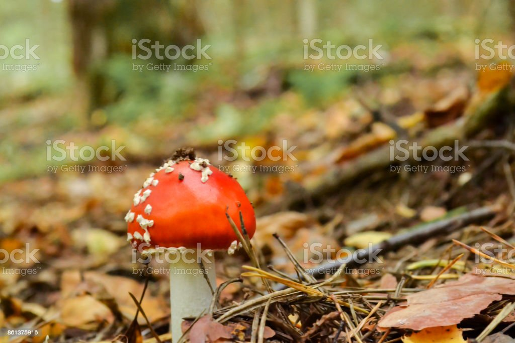 Close-up picture of a Amanita poisonous mushroom in nature stock photo