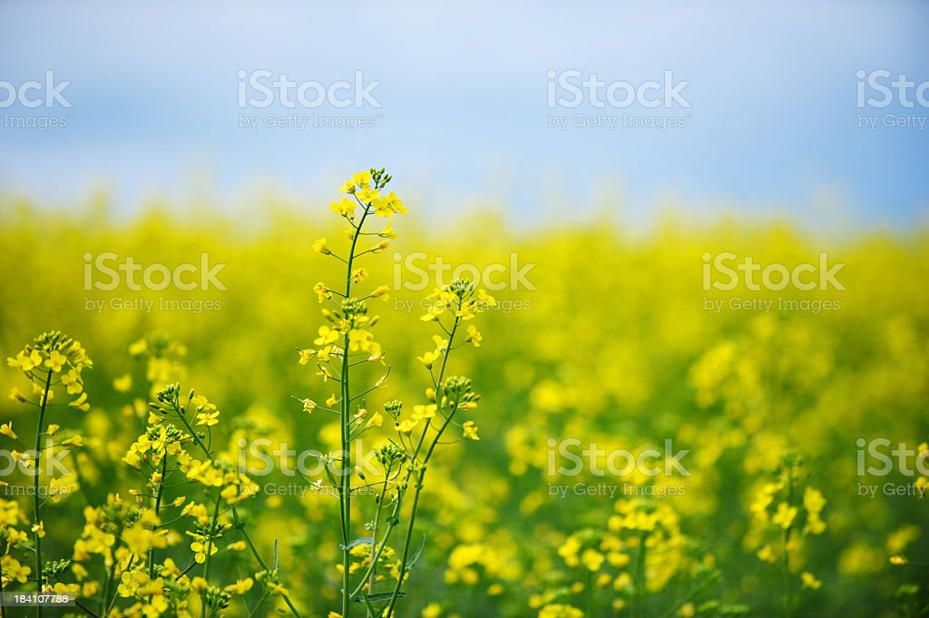 Close-up picture of a oilseed rape field royalty-free stock photo