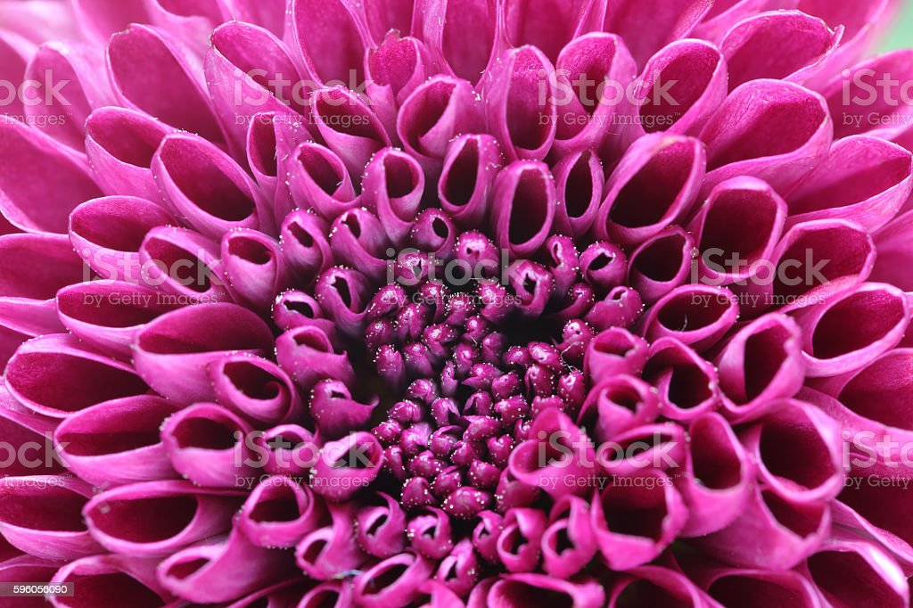 Closeup picture of chrysanthemum royalty-free stock photo
