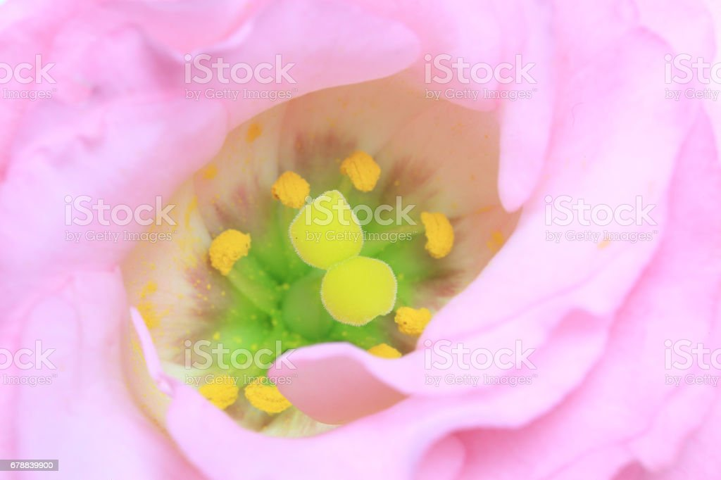 Closeup picture of Eustoma stock photo