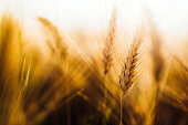 Close-up picture of golden wheat in countryside on sunlight