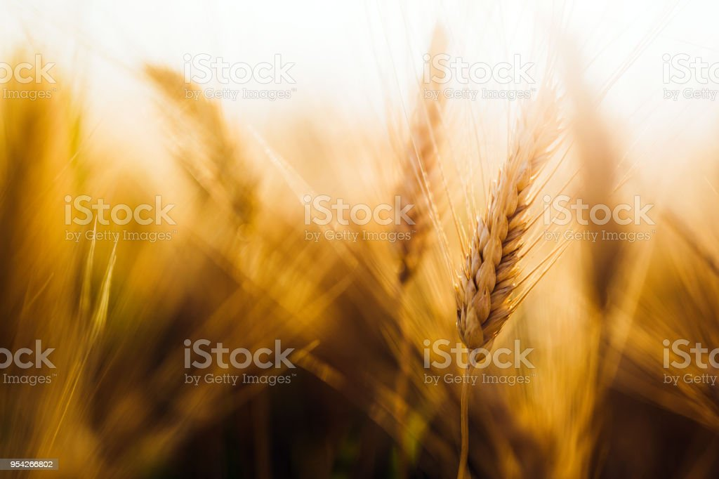 Close-up picture of golden wheat in countryside stock photo