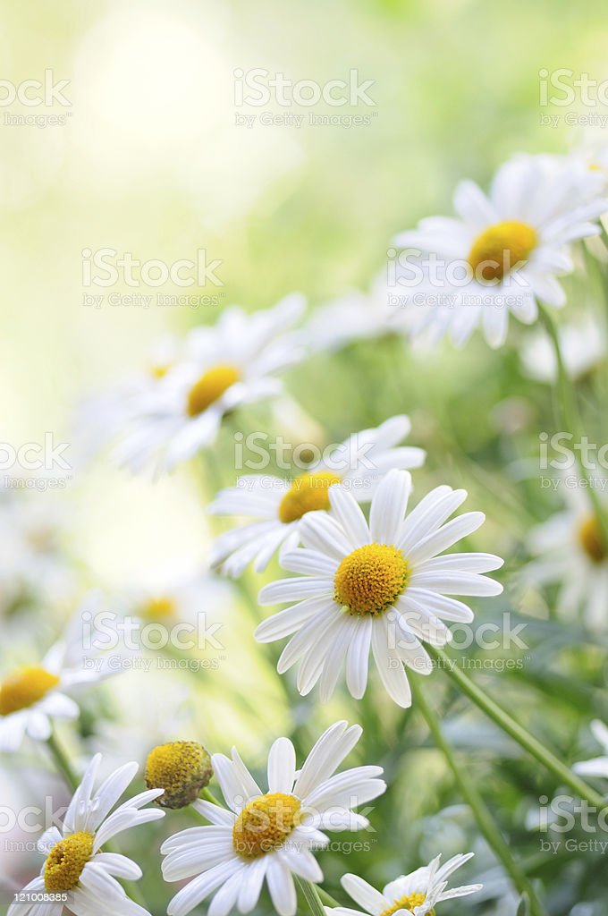 A close-up picture of pretty white and yellow Chamomiles stock photo