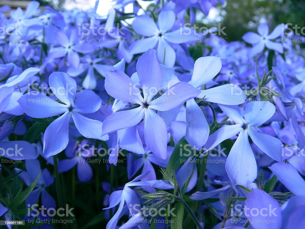 Close-up picture of purple Phlox flowers royalty-free stock photo