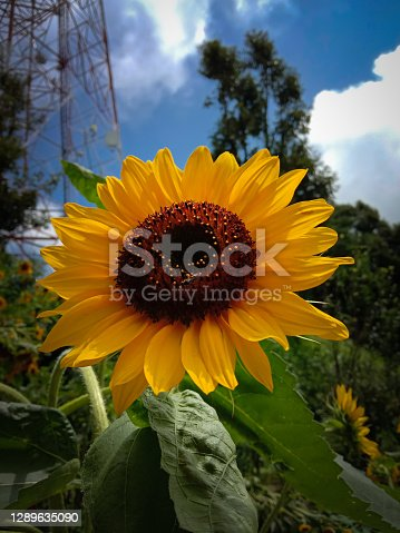 closeup picture of sunflower in a green garden.
