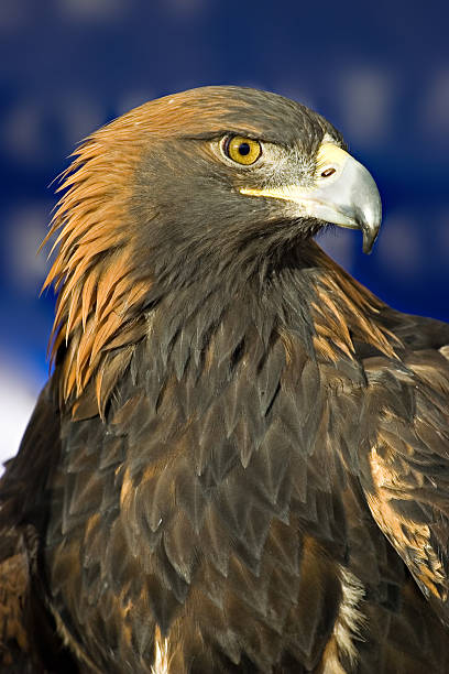Close-up picture of the eye of a Golden Eagle stock photo