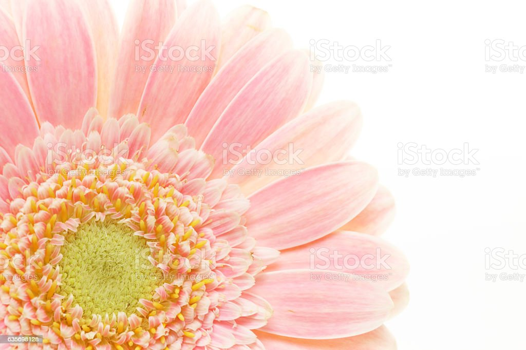 Closeup picture of transvaal daisy royalty-free stock photo