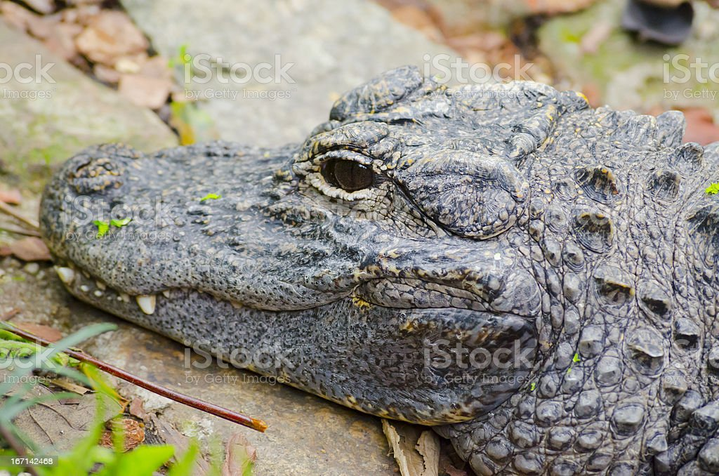 Closeup picutre of a Chinese alligator royalty-free stock photo