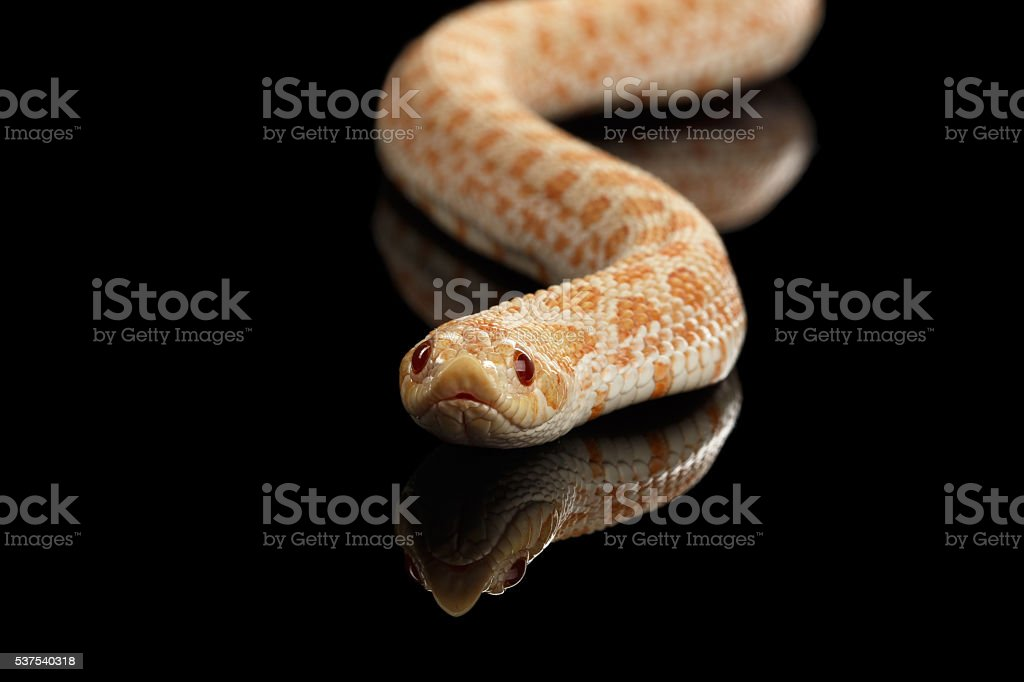 Closeup Pink Albino Western Hognose Snake, Heterodon nasicus isolated black stock photo