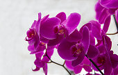 Flower, Orchid, Petal, Plant, Turkey - Middle East, Beauty, Beauty In Nature, Blossom, Botany, background