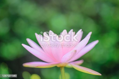 Close up shot of pink lotus water lily flower