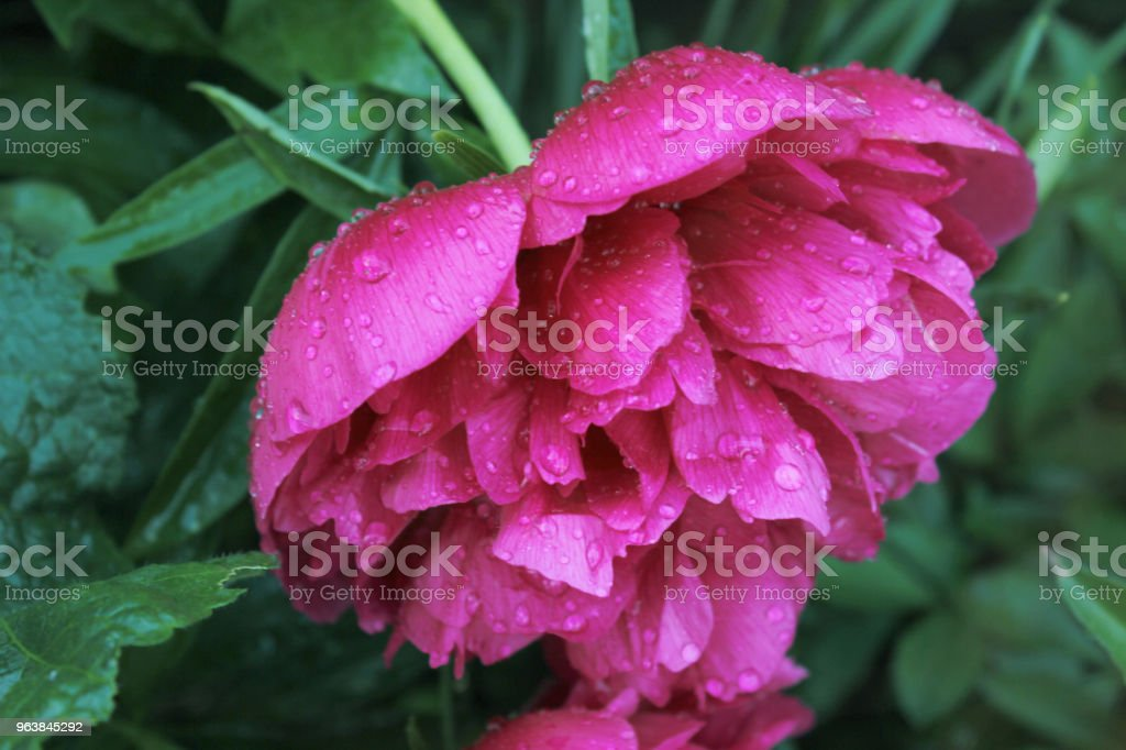 Close-up pink peony flower with raindrops on the petals - Royalty-free Beauty Stock Photo