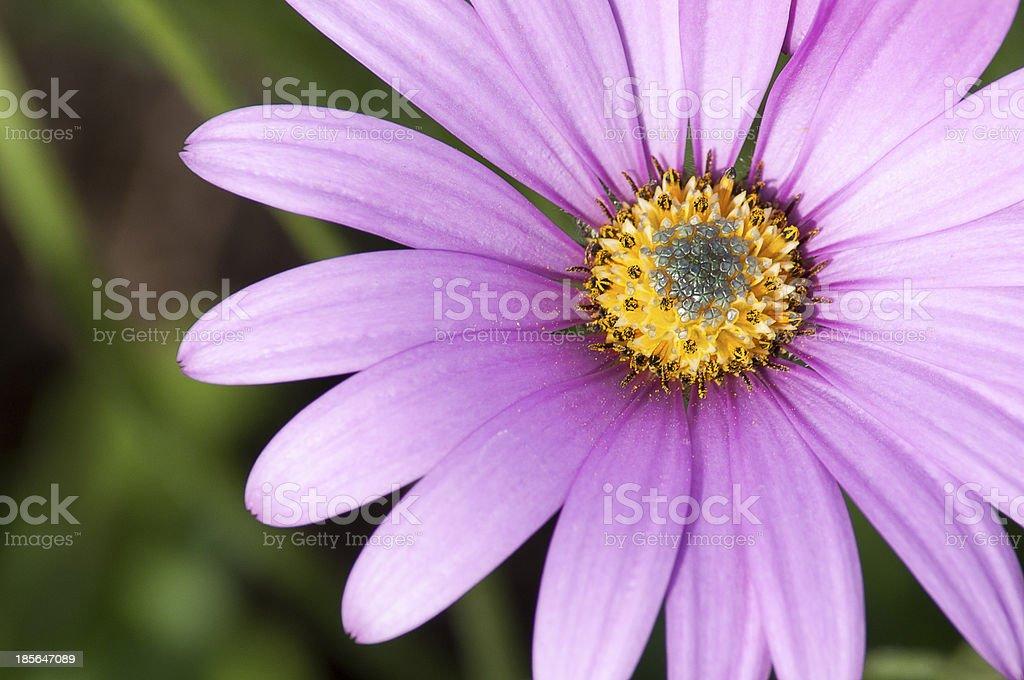Close-Up PInk Purple Violet Osteospermum royalty-free stock photo