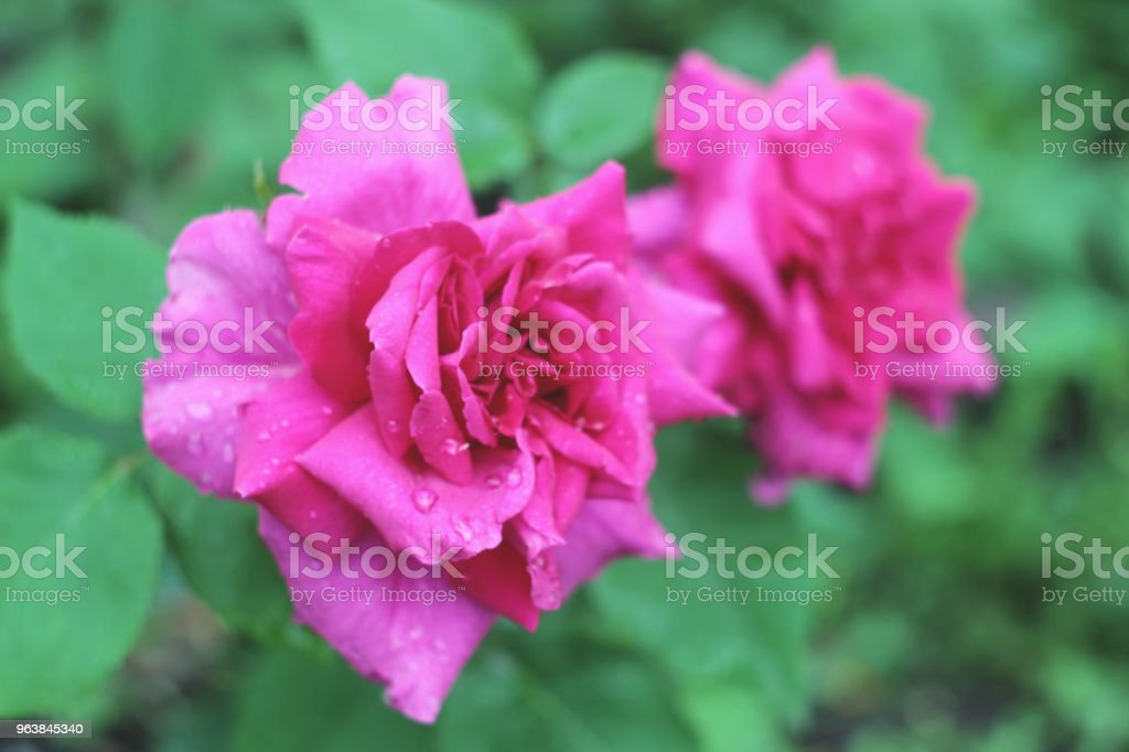 Close-up pink roses flower on a green background - Royalty-free Arrangement Stock Photo