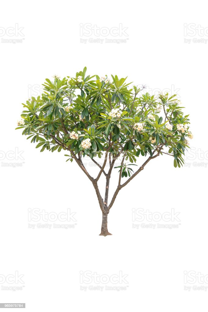 Closeup Plumeria tree isolated on white background - Royalty-free Branch - Plant Part Stock Photo
