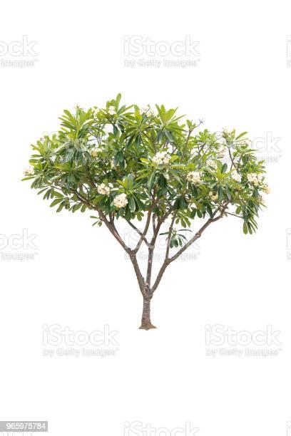 Closeup Plumeria Tree Isolated On White Background Stock Photo - Download Image Now