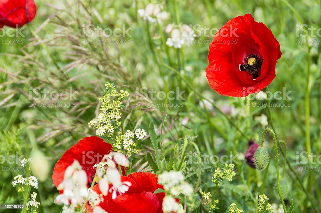 Close-up Poppy Background royalty-free stock photo