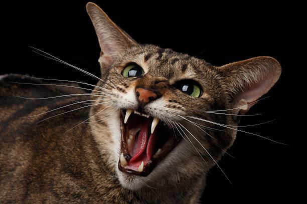 Closeup portrait Aggressive Oriental Cat Hisses in Camera, Black Isolated stock photo