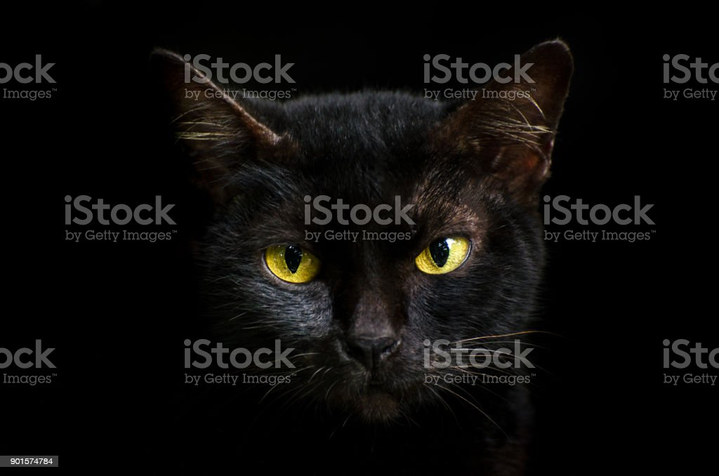Closeup portrait black cat The face in front of eyes is yellow. Halloween black cat  Black background stock photo