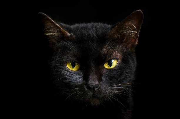 Black Cat Stock Photos Pictures amp Royalty Free Images