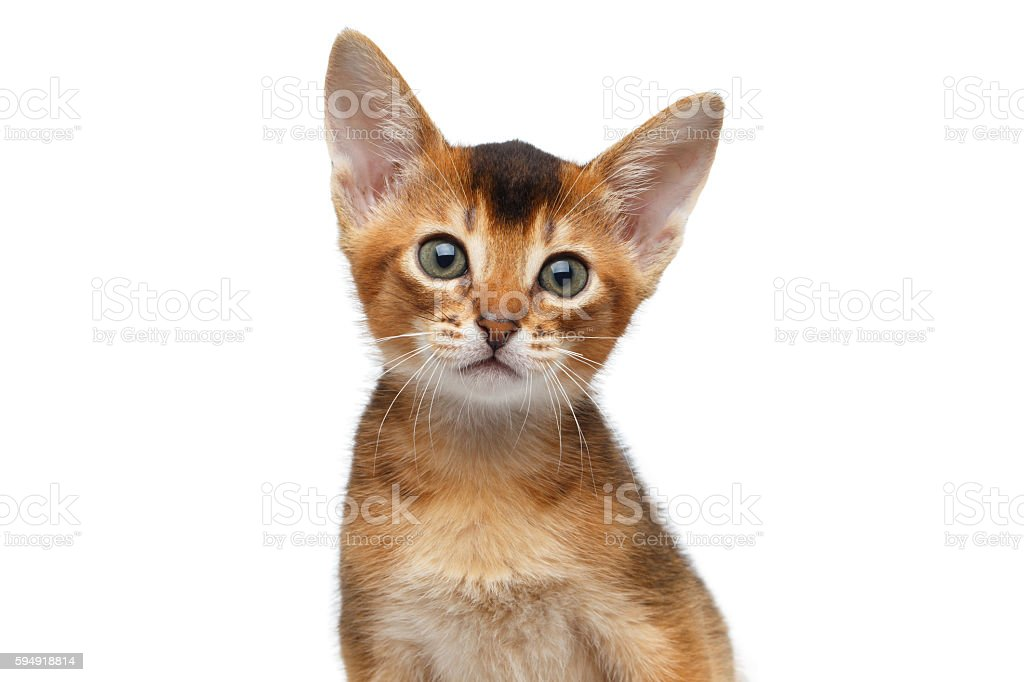 Closeup Portrait Cute Abyssinian Kitten on Isolated White Background stock photo