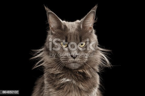 istock Close-up Portrait Maine Coon Cat on Black Background 664650102