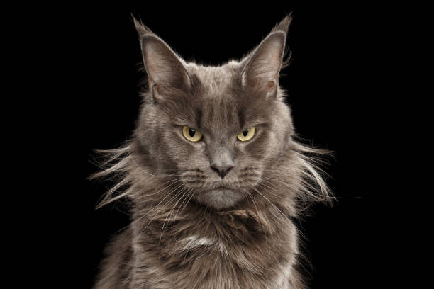 Close-up Portrait Maine Coon Cat on Black Background stock photo