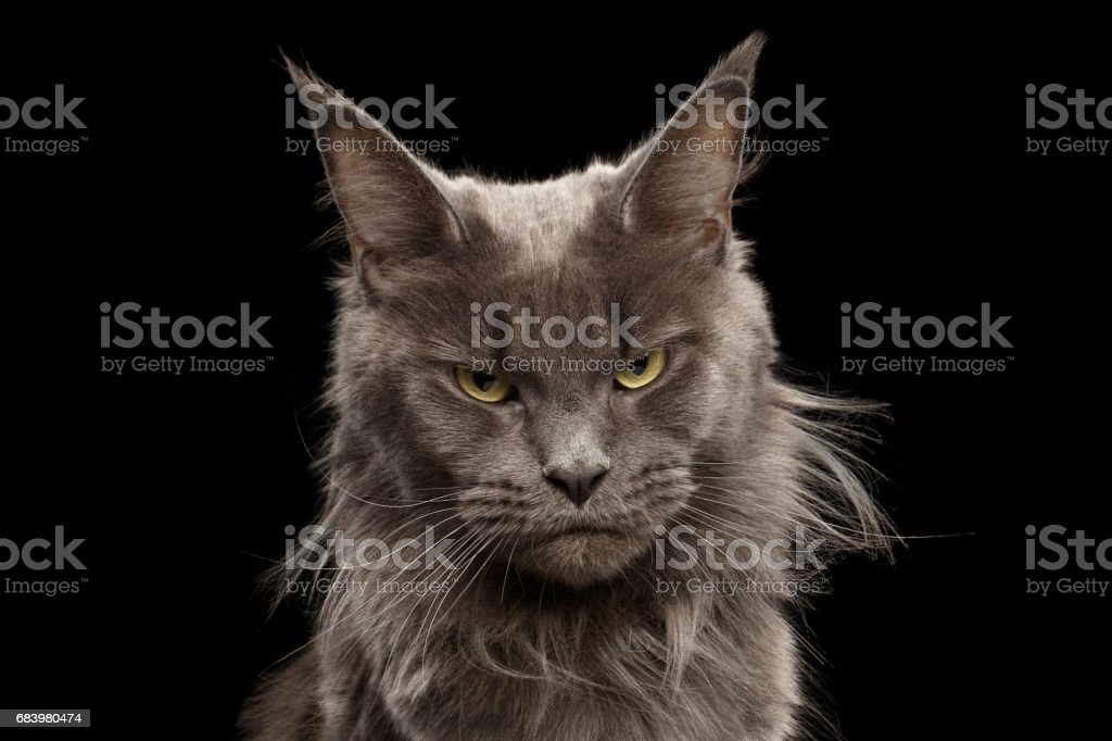 Gato de Coon de Maine de retrato de close-up em fundo preto foto de stock royalty-free