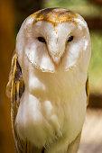 A Barn Owl emerges before nightfall.