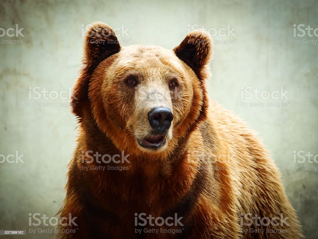 Closeup portrait of a brown bear looking at the camera – Foto