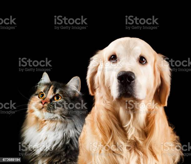 Closeup portrait of a cat and dog isolated on black background golden picture id672689194?b=1&k=6&m=672689194&s=612x612&h=nxwmv4ajygfxgvi3lj4gf2kkokehf0uja5m6jnffwxo=
