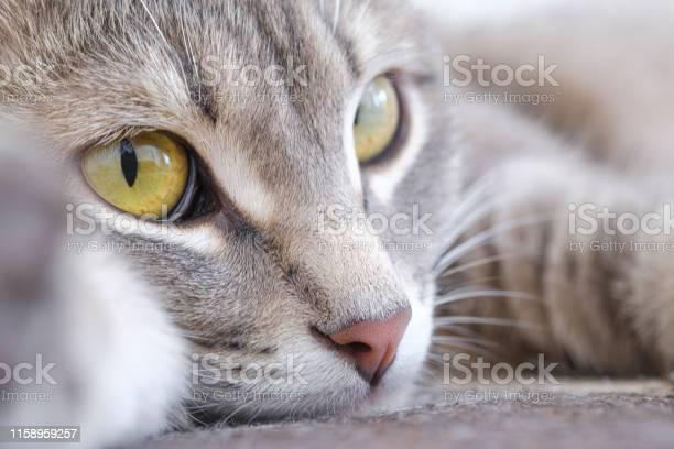 Closeup portrait of a cat the cat looks into the distance with a sad picture id1158959257?b=1&k=6&m=1158959257&s=612x612&h= r8kdx8s0iqg2vsavpanxtm0j grtskuki4ft0ag3ic=