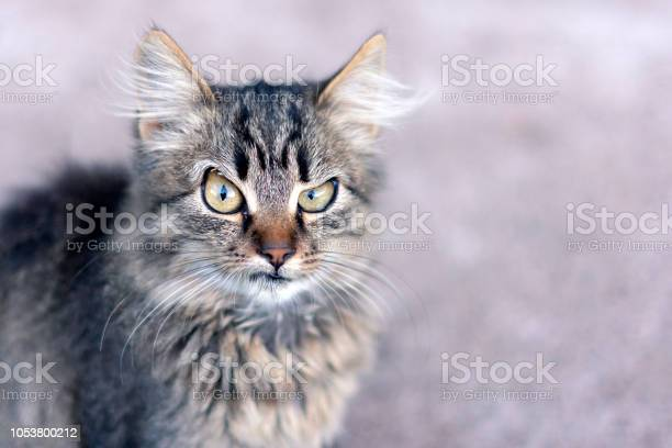 Closeup portrait of a cat with a blurred background shows the emotion picture id1053800212?b=1&k=6&m=1053800212&s=612x612&h=41o3z8afk6 vdqys6fso63sl80dhz3ily ns56u2mmw=