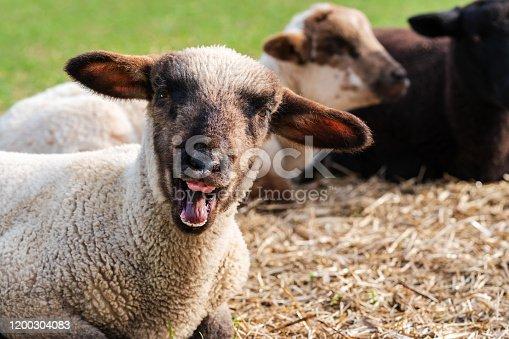 One sheep isolated on black background.
