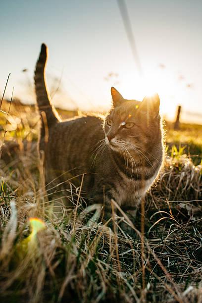Closeup portrait of a cute cat in sunset picture id469927098?b=1&k=6&m=469927098&s=612x612&w=0&h=leqthiqyqgw1xbafos 0mixjz66btxi3f wrdp0nmxk=