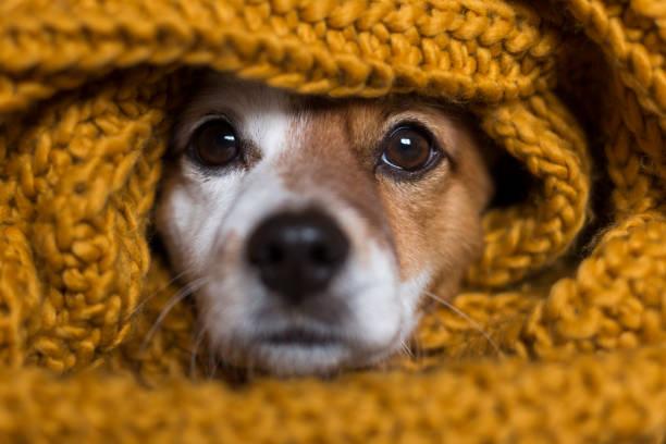 retrato de primer plano de un perro pequeño lindo sentado en la cama y mirando curioso a la cámara. Está envuelto en una bufanda amarilla. Mascotas en el interior - foto de stock