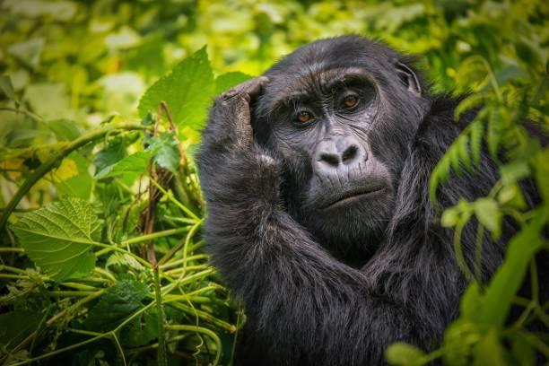 Closeup portrait of a female mountain gorilla showing the details of picture id962748202?b=1&k=6&m=962748202&s=612x612&w=0&h=yjhwgjjaegj9bzkwvgjl1ajm0iy6lii3cdo hdlgh6g=