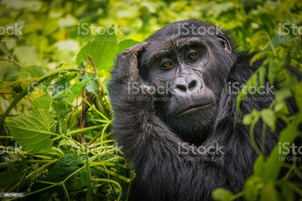A close-up portrait of a female mountain gorilla, showing the details of her facial features, in its natural forest habitat in Uganda. stock photo