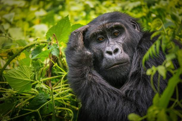 A close-up portrait of a female mountain gorilla, showing the details of her facial features, in its natural forest habitat in Uganda. The facial expression of a mountain gorilla, as she appears to be scratching the top of her head with her hand, her hairy arm framing her face. Surrounded by dense green foliage. female animal stock pictures, royalty-free photos & images