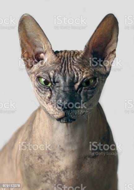 Closeup portrait of a grumpy sphynx cat front view isolated on grey picture id979112078?b=1&k=6&m=979112078&s=612x612&h=r1luecmjkbl89pgitsi411asn1ccbo6mxv ellik0gq=