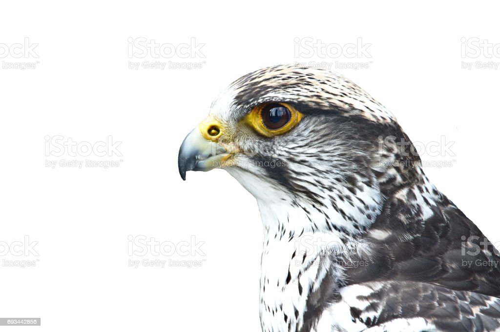 Close-up portrait of a gyrfalcon stock photo