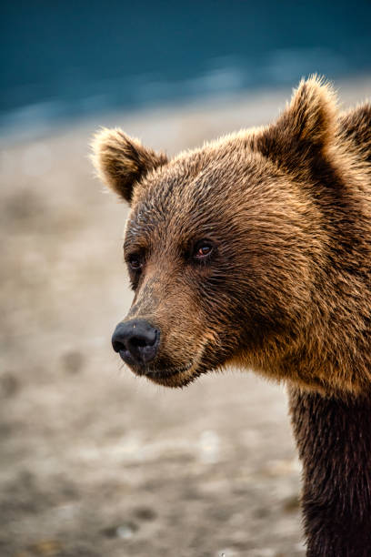 Close-up portrait of a large Brown Bear, Kamchatka Close-up portrait of a large male Kamchatka brown bear (Ursus arctos beringianus) at the shoreline of Kurile Lake, Kamchatka, Russia. kamchatka peninsula stock pictures, royalty-free photos & images