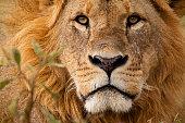 Male lion in close up – Masai Mara national park, Kenya.  More Lions: